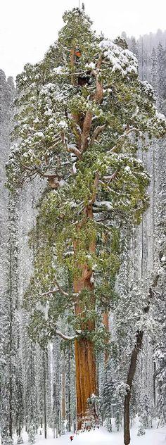 Sequóia  gigante na Califórnia...