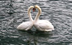What better inspiration for your wedding cake, a pair of swans making a heart shape with their necks !!!