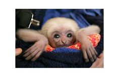 A baby gibbon born at the Schwerin Zoo in Northern Germany, which had to be hand-reared after its mother abandoned it