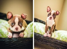 ©Ama Photography www.AmaByAisha.com Facebook.com/AmaPhotog featured on The Daily Dog Tag . Red Boston Terrier