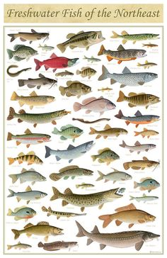 Kayaking Discover Freshwater Fish of the Northeast Poster - inch print by Matt Patterson - fishing print cabin decor fish poster