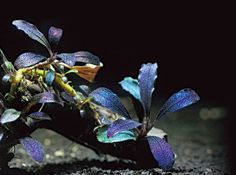 "simonsaquascapeblog:  Aquatic Plant: Bucephalandra ""Arrogant blue"" Absolutely stunning plant for your tank"