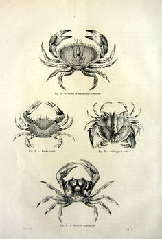 1860 Antique engraving of Crabs, original vintage sea life crustacean print, marine animal illustration, curious oddity crustaceans CRAB.