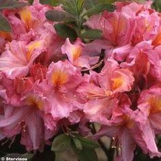 Les 8 Meilleures Images De Azalee Arbuste Fleurs Et Jardins