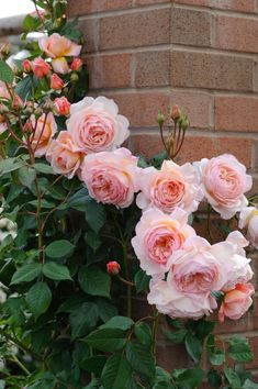 "Rose "" A Shropshire Lad "" , (AUSled) , David C. H. Austin (United Kingdom, 1997)"