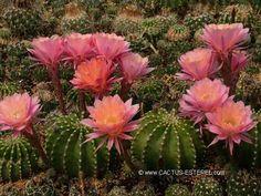 Echinopsis 'Morgenzauber'
