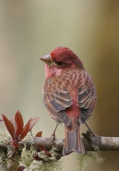 colorful house finch...8x10 photo mounted in 11x14  cream single mat...in clear protective sleeve