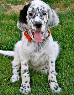 Google Image Result for http://cdn-www.dailypuppy.com/dog-images/tango-the-english-setter-5_66546_2012-06-25_w450.jpg