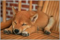 shiba inu puppies - Google Search Cute Puppies, Cute Dogs, Dogs And Puppies, Animals And Pets, Funny Animals, Cute Animals, Japanese Dogs, Cute Funny Babies, Funny Pets