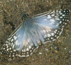 The Tropical Checkered-Skipper is particularly abundant in late summer and early fall. Adults have a fast, erratic flight and buzz rapidly among low vegetation, pausing occasionally to nectar or perch with their wings outstretched. The light green larvae construct individual shelters on the host by tying two or more leaves together with silk.
