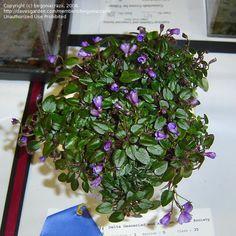 African Violet 'Teeny Bopper' (Saintpaulia)
