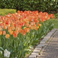 Tulip Daydream (Liljapenkissä)