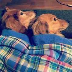 疲れたー(°_°) 遅れましたが、バトン受け取りました! 先輩むうちゃんから@muuchan220 ♡ 恐れ多い #もっとも美しい犬 バトン! * 見事なシンクロ寝♡笑 そして、ウマウマの気配でシンクロ開眼♡笑 田舎犬ですが、我が家の美しい犬です(°_°)笑 * #ミニチュアダックスフント #ダックス大好き #短足 #ダックス多頭飼い #犬バカ#多頭飼い#愛犬#愛犬15歳7歳 #るいさん、ひなた#シニア犬#よく寝るシニア#バトン#もっとも美しい犬#シンクロ