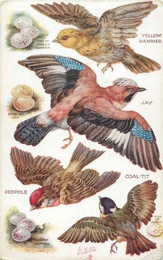 OILETTE, PRINTED IN ENGLAND, COPYRIGHT LONDON, listed in 1930 Postcard Catalogue, same images as pushouts 3375, AFTER THE ORIGINAL PAINTING BY M. BOWLEY., listed in 1926/1927 POSTCARD Catalogues YELLOW HAMMER, JAY, COAL-TIT, REDPOLE & their eggs