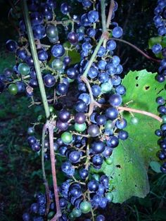 All about foraging and identifying grape, both wild and cultivated, in North America. (cool tidbit..did you know you can get a lot of water from a grapevine? Read his article to find out more!)