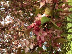 Pretty crabapple blossoms at Goodstone Inn.