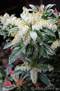 pieris shrub - Google Search
