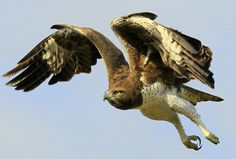 Martial Eagle taking flight at Ulusaba. Image by Dan Harlacher