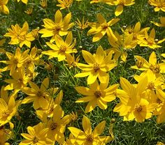 """Coreopsis verticillata """"Zagreb""""  Zagreb Tickseed   Height: 18 inches  Spread: 18 inches  Sunlight:  full sun  partial shade   Hardiness Zone: 3  Other Names: Threadleaf Coreopsis    Ornamental Features:  Zagreb Tickseed is smothered in stunning gold daisy flowers at the ends of the stems from mid summer to early fall. The flowers are excellent for cutting. It's ferny leaves remain emerald green in color throughout the season."""