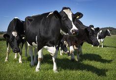The Arla cow says MOO!
