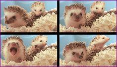 Headgehog babies
