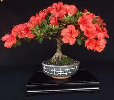 Helpful Guidelines In Growing Indoor Bonsai Trees Beautiful Azalea Bonsai Indoor Bonsai Tree, Mini Bonsai, Bonsai Art, Bonsai Plants, Bonsai Trees, Ikebana, Art Floral, Bonsai Azalea, Plantas Bonsai
