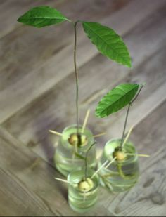 17 Apart: Progress Report: Growing Avocados From the Pit