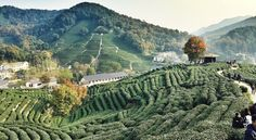 Tea Fields in Hangzhou, China Hangzhou, Chinese Culture, Daydream, Fields, Bucket, China, Adventure, World, Places