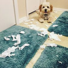 All I wanted to do was take a nice bubble bath 🛀but Ollie had other plans 🐾🐾 I think he's pretty proud of himself 😝 #lilbutthead #ollie #oliver #olivermika #puppy #puppyproblems #havanese #happypuppy #havaneseoftheworld #instadog #ilovemydog #instadaily #instafluff #doglife #dailydog #dailyfluff #dailyfluff #dailypuppy #sillypuppy #puppyplaytime #badboy #home #alliwantedwasabubblebath #gottacleanthatup #mika #luckydog