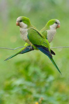 Foto caturrita (Myiopsitta monachus) por Margi Moss | Wiki Aves - A Enciclopédia das Aves do Brasil