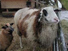 Wolle Natur Farben: Strickjacke aus handgesponnener Wolle vom gescheckten Ostfriesischen Milchschaf...