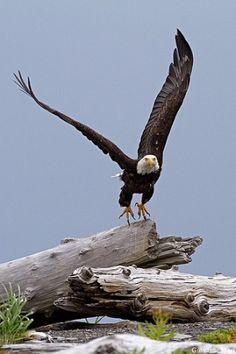 Just heard that a moron in Clinton County shot a goverment protected Bald Eagle.   Katmai NP - Alaska by Fern Marilynn