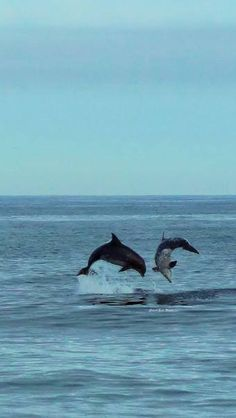 Dolphins playing in the bay in Ocean City, MD.