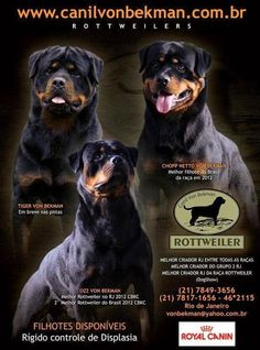 Excelência em criação de Rottweiler www.canilvonbekman.com.br  #canil #criadorderottweiler #canilvonbekman #rottweiler