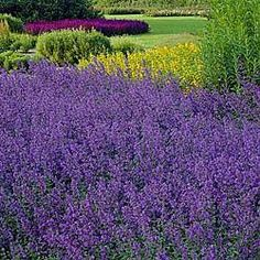 Walker's Low Nepeta Catmint Plant reviews   SeedRatings.com