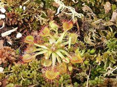 Rosnatka - http://www.semena-rostliny.cz/cs/article/19-masozrave-rostliny-mucholapka-dionaea-semena-rostliny