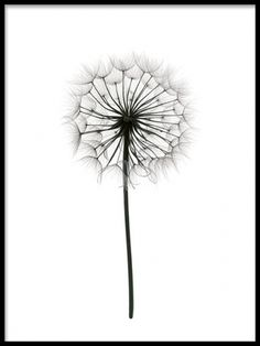 Fin botanisk tavla i svartvitt. Poster med maskros. Snygga tavlor och posters med naturfotografier i svartvitt. Bästsäljare.