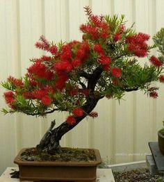 Beleza da Natureza Bonsai - Callistemum (Escova-de-garrafa)