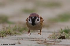 Eurasian Tree Sparrow by Ashish Inamdar