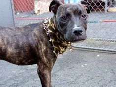 RETURNED AGAIN - POOR BABY!! SAFE 3/17/15 SUPER URGENT Manhattan Center SAM aka XANADU – A1004466 *** RETURNED AGAIN 04/15/16 – DOH HOLD 04/15/16*** SPAYED FEMALE, BL BRINDLE / WHITE, STAFFORDSHIRE / AM PIT BULL TER, 2 yrs, 10 mos OWNER SUR – ONHOLDHERE, HOLD FOR DOH-B Reason BITEANIMAL Intake condition UNSPECIFIE Intake Date 04/15/2016, From NY 10037, DueOut