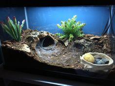 Chilean Rose Hair Tarantula (Grammostola rosea) enclosure setup.