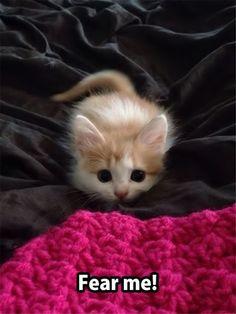 """#Cute #Kitten """"Fear Me"""""""