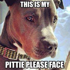 """Pittie please can I has a treat?"" -Tank"