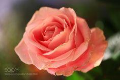 flower by kusoksveta. @go4fotos