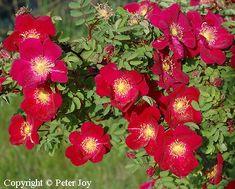 Rosa pimpinellifolia Tove Jansson At/Co omaj. Tove Jansson, Outdoor Plants, Roses, Dancers, Garden, Flowers, Garten, Pink, Rose