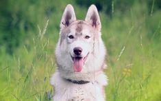 Download wallpapers Siberian Husky, muzzle, pets, cute animals, Husky, dogs, Siberian Husky Dog