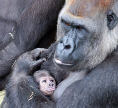 Newborn baby gorilla at Dublin Zoo. I would not want to mess with that animals Primates, Cute Baby Animals, Animals And Pets, Funny Animals, Strange Animals, Wild Animals, Dublin Zoo, Dublin City, Dublin Ireland
