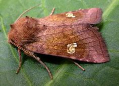 The Moths of Suffolk - 2360 Ear Moth, Amphipoea oculea, (Linnaeus, Linnaeus, Tapestries, Moth, Butterflies, Angels, British, Ear, Beauty, Beautiful