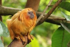 Golden Lion Tamarin or Golden Marmoset - native to the Atlantic coastal forests of Brazil
