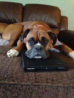 Maximus #boxerdog